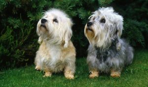 Terrier Dog Group