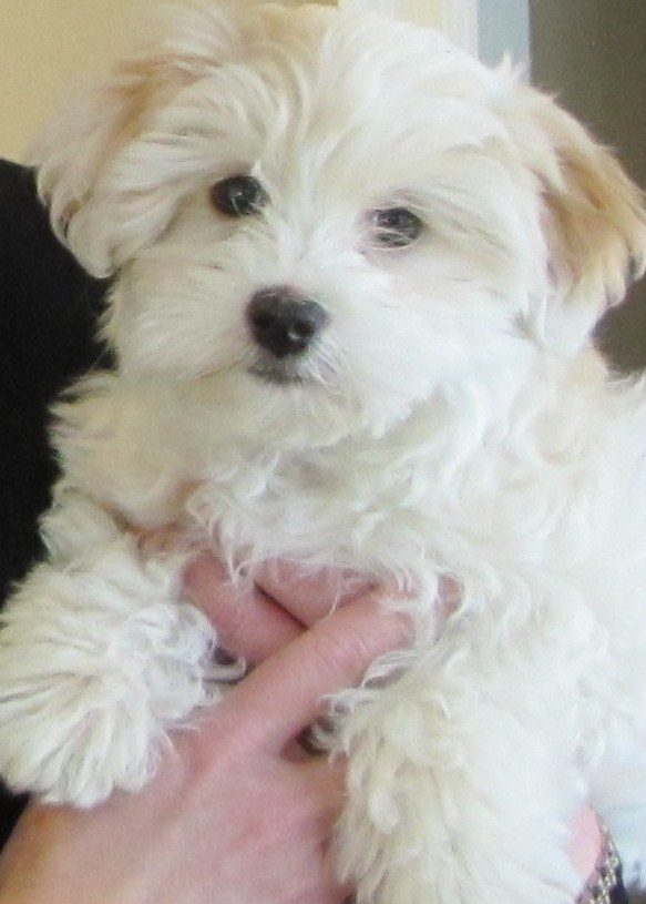 White Havapoo Dog