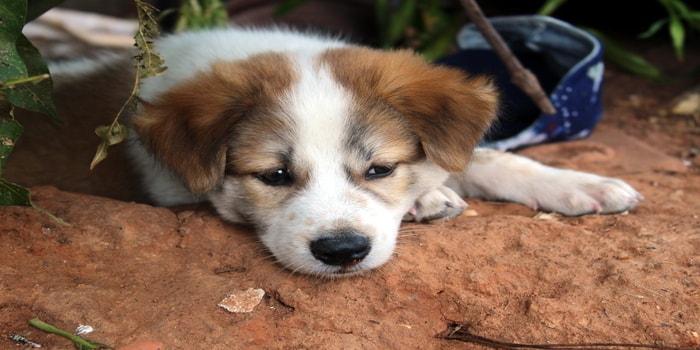 Bea-Tzu Dog
