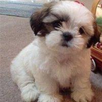 Bea Tzu Puppy