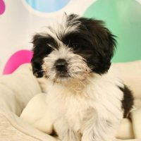 Bea Tzu Puppy Pictures