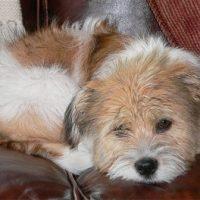 Beagle Shih Tzu Mix Pictures