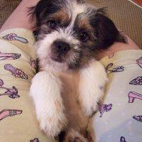 Beagle Shih Tzu Mix Puppy Pictures
