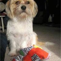 Beagle and Shih-Tzu Mix