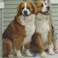 Bernese Mountain Dog Saint Bernard