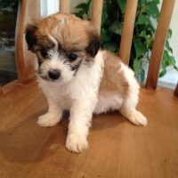 Bichon Frise x Jack Russell Mixed Breed Dogs