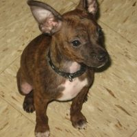 Boston Terrier Miniature Pinscher