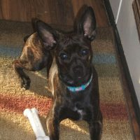 Boston Terrier Mixed with Miniature Pinscher