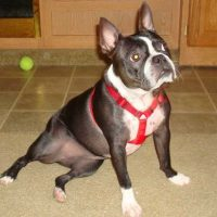Boston Terrier x Miniature Pinscher