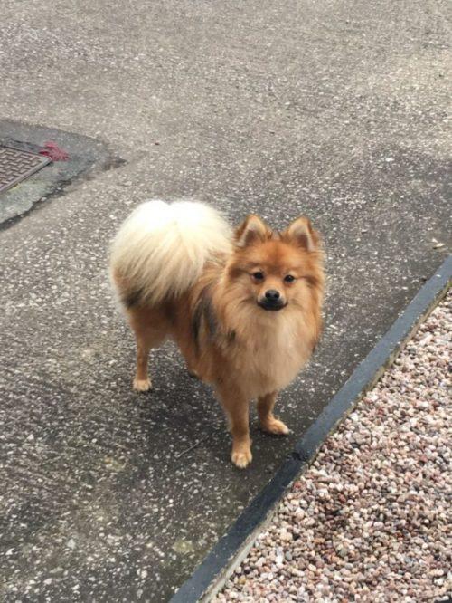 Pomchi Pomeranian Chihuahua Mix Info Temp Puppies Pictures