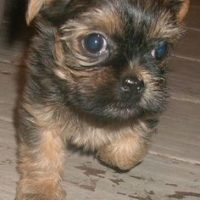 Brussels Griffon Yorkie Mix