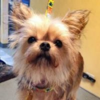 Brussels Griffon and Yorkie Mix
