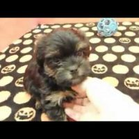 Brussels Griffon x Yorkshire Terrier