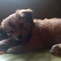 Chi Apso Puppy
