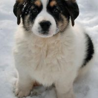 German Shepherd Saint Bernard Mix