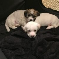 Jack Russell Bichon Cross Puppies