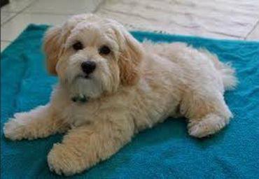AGNES | Adopted Dog | Newport Beach, CA | Shih Tzu/Lhasa ...  |Lhasa Dog Mix