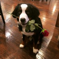 Saint Bernese Dog