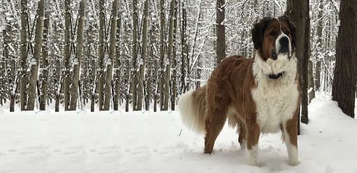 Saint Bernese Dogs
