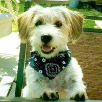 Shih Tzu Mix Beagle