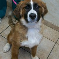 St Bernard Bernese Mountain Dog Mix Puppies