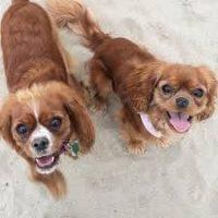 Tibalier Dogs