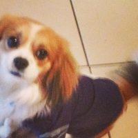 Tibalier Puppy