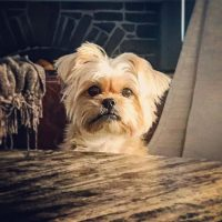 Yorkshire Terrier and Brussels Griffon Mix