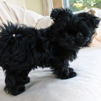 Black Miki Dog