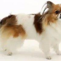 Mi-Ki Dog