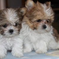 Mi Ki Dog Puppies