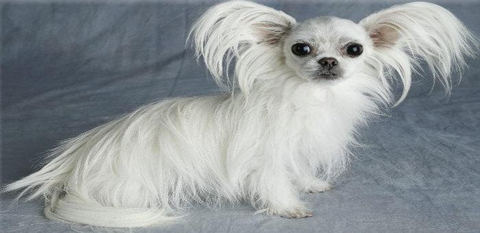 Miki Dog Breed