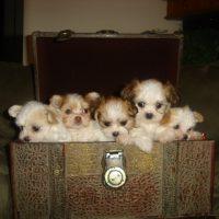 Miki Dog Puppies