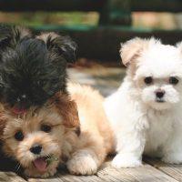Short Hair Miki Dog