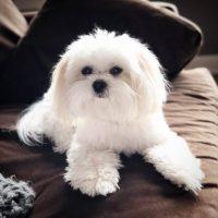 White Miki Dog Pics