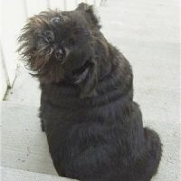 Brussels Griffon X Pug Mix