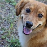 Dachshund Sheltie Mix