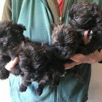 Fourche Terrier Puppies