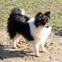 Pomeranian Sheltie Mix
