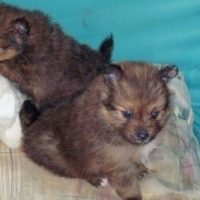 Pomeranian Sheltie Mix Puppies
