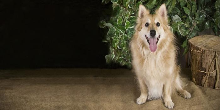 Poshie Dog Breed