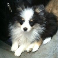 Sheltie Pomeranian Mix