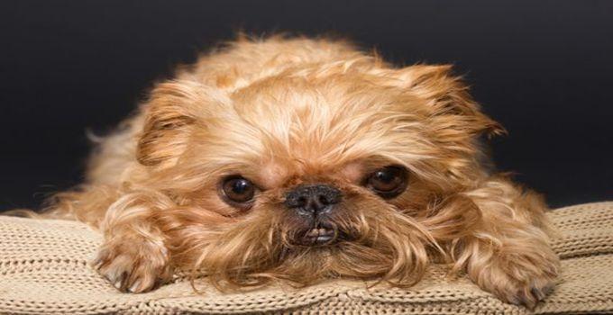 The Brug Dog