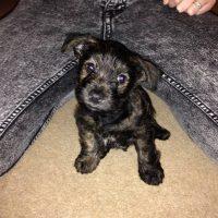 Westie Yorkie Mix Puppy