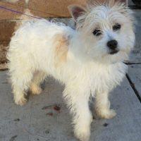 White Fourche Terrier Dog