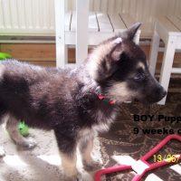 Alaskan Malamute German Shepherd Puppy