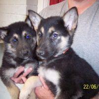 Alaskan Shepherd Puppy Images
