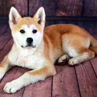 Borgi Dog Breed Photos