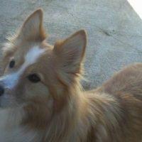 Borgi Dog Pictures