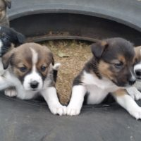 Borgi Puppies